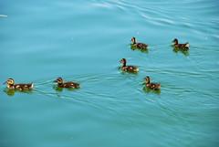 duck duck duck ... ducklings (Splash L) Tags: lake nature animal swim duck