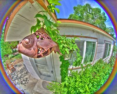 FISHEYE!!! (Darron Birgenheier) Tags: fish clouds liberty freedom vines mod dof decoration wideangle depthoffield nv ornament falcon depression castiron hanging fieldofview polar modification libertarian 8mm vivitar manualfocus walimex hdr highdynamicrange bower mods modded hops fisheyelens fullcircle 180degrees renonevada f35 mentalillness secondamendment 2ndamendment drb modifications usconstitution photomatix humuluslupulus opteka porchroof tonemapped samyang gadsdenflag rokinon prooptic nikond600 garyjohnson gadgetguru shavedlenshood darronbirgenheier darronrbirgenheier bipolarphotographer