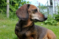 Mini dachshund Sweden (Ankar60) Tags: dog brown miniature little sweden mini swedish hund tax sverige brun shorthaired svensk edita dualis korthrig dvrgtax kanintax dachsmund