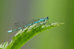 azure damselfly * (Neptuno.Photography) Tags: azure damselfly