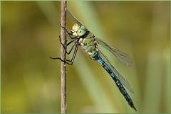 Anax imperator  (Joose SF) Tags: nature nikon suisse geneva dragonflies dragonfly wildlife insects genve arthropoda insectes libellule odonata anisoptera aeshnidae hexapoda libellules odonate proxi 2013 proxiphoto