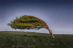 Won't Fall (_Amritash_) Tags: park travel landscape countryside brighton bend wind unitedkingdom landscaping windy traveller sevensisters hdr hdri cpl hoya bending countrypark sevensisterscountrypark wontfall bendingtree d7000 nikond7000 amritash bendduetowind