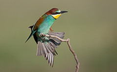 Bee-eater displaying as another flies by