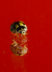 14 spot Ladybird Red (PRotography YORK) Tags: red orange macro yellow insect ladybird ladybug protography httpswwwfacebookcomprotographyeu protographyeu