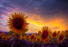 Stormy Sunset with Sunflowers (Jacopo Cambi) Tags: light sunset italy panorama rain clouds landscape tramonto sony sunflowers tuscany fields siena toscana storms hdr girasole luce sera autofocus greatnature rx100 ilceppo blinkagain allnaturesparadise bestofblinkwinners blinksuperstars bestofsuperstars vpu2 blink4gallery potd:country=it