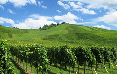Summer Vineyards (Batikart) Tags: summer plants nature field grass leaves lines stairs rural canon germany way landscape geotagged outdoors deutschland leaf vineyard flora europa europe day natural wine pov geometry path walk sommer patterns curves landwirtschaft natur feld felder structures tranquility line growth rows fields gras recreation growing agriculture relaxation ursula landschaft bltter staircases muster cultivation wein wege weinberg sander treppen grapevines g11 badenwrttemberg swabian linien beutelsbach reihen weinstcke 100faves 2013 weinstadt batikart canonpowershotg11