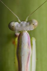 Retrato mantis (Galvz Espinosa Photograpy) Tags: santa detalle macro mantis insect ed nikon d flash tube 11 f micro teresa 28 extension mm af 105 nikkor santateresa tubo f28 d800 insecto religiosa macrofotografia