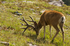 """Mule Deer Buck • <a style=""""font-size:0.8em;"""" href=""""http://www.flickr.com/photos/63501323@N07/9456559707/"""" target=""""_blank"""">View on Flickr</a>"""
