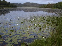 Summer water lilies on Loch Culag