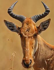 Why the long face? (Rainbirder) Tags: kenya maasaimara cokeshartebeest kongoni alcephalusbuselaphus rainbirder alcephalusbuselaphuscokii