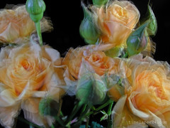 27-roses_opening_time_lapse_24_days (timelapse24) Tags: flowers roses long open time away fade rotten fusion lapse term passby