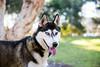 Athena (Gertrude139) Tags: park blackandwhite dog smile happy husky siberianhusky sibe bieyed