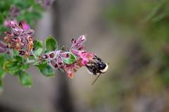 Llanerchaeron (Emma Gibbs) Tags: flowers southwales wales bees bee ceredigion llanerchaeron