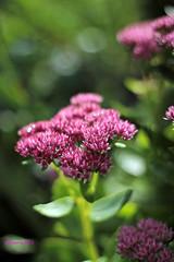untitled (adriaan.s) Tags: pink autumn summer flower green nature purple roze bloem