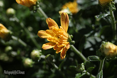 garden mum (thomask8) Tags: flowers summer flower color macro green nature floral yellow canon garden outdoors photography colorado colorful bokeh ngc bloom blooming naturescenes gardennature simplyflowers gardenmums mygardenschool