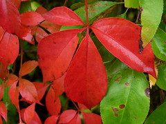 autumn red plant leaves newjersey nj vine fav20 foliage vitaceae virginiacreeper parthenocissus somersetcounty baskingridge vitales fav10 parthenocissusquinquefolia fivefinger lordstirlingpark fiveleavedivy