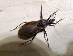 Reduviidae -- Assassin Bug Family. ( Kissing Bug?) (gailhampshire) Tags: family arizona bug kissing insects assassin reduviidae