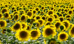 Pensant en Van Gogh / Remembering Van Gogh (SBA73) Tags: flowers españa flores yellow spain blumen amarillo sunflowers fields pastoral camps león vangogh campos zamora spanien groc castilla flors pipas espanya castille spagne girasoles girasols castillaleon moralejadelvino