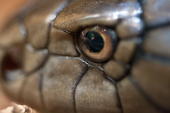 "King Cobra - EYE closeup • <a style=""font-size:0.8em;"" href=""http://www.flickr.com/photos/30765416@N06/10548401403/"" target=""_blank"">View on Flickr</a>"