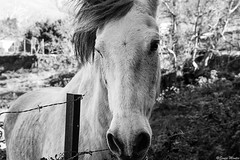 No me dejes aqu... (Sonia Montes) Tags: bw horse byn blancoynegro animal canon caballo