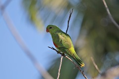 Red-winged Parrot ~ Aprosmictus erythropterus ~ Mount Molloy School (Rowettia) Tags: birds australia queensland redwingedparrot aprosmictuserythropterus mountmolloy