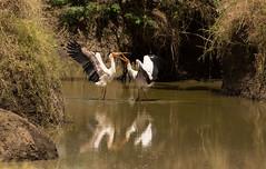 Yellow-Billed Stork (Mycteria ibis) (kerrybluett100) Tags: stork masaimara photographersonsafari birdsofkenya maranorthconservancy canon5dmk111 canon300f28mk11