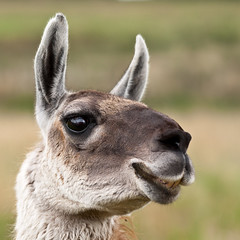 Laughing Llama (Bryan OHara) Tags: portrait nature smile face animal animals laughing fun eyes funny natural llama ears headshot full frame sonya900 sal70400mmf4f56g