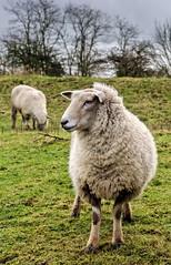Sheep (Jez22) Tags: copyright wool nature look field grass animal rural mammal outdoors kent sheep farm meadow lamb livestock mutton woolly romney ewe jeremysage