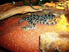 Snakes, adder (Iqbal Osman1) Tags: africa snakes reptiles adder warmblooded