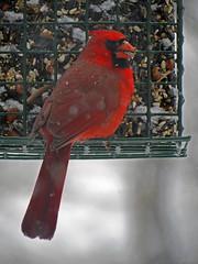 Cardinal at the Feeder (BlueRidgeKitties) Tags: red cardinal birdfeeder northcarolina cardinaliscardinalis westernnorthcarolina southernappalachians canonpowershotsx40hs {vision}:{outdoor}=0515 {vision}:{text}=0585
