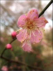 (Tlgyesi Kata) Tags: blossom botanicalgarden plumblossom japaneseapricot vcrtt prunusmume chineseplum botanikuskert knaikajszi vcrttibotanikuskert withcanonpowershota620 nemzetibotanikuskert knaiszilva japnkajszi