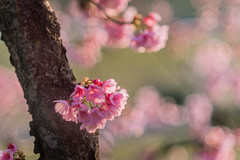23032014_fluffy pink (Chicaco11) Tags: flower japan cherry lumix 50mm tokyo spring blossom f14 panasonic  sakura nikkor setagaya  tamariver 2014  ohkanzakura chicaco11 dmcgx7