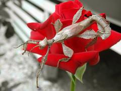 Male spiny leaf insect (Extatosoma tiaratum) (Matt_c17) Tags: male insect leaf australian australia stick aussie aus spiny extatosoma tiaratum
