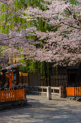 Cherry Blossom of Gion, Kyoto /  (Kaoru Honda) Tags: city nature japan cherry landscape japanese town spring alley nikon kyoto traditional alleyway     gion  japon           d7000