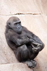 Joanne. (LisaDiazPhotos) Tags: joanne silverback gorilla sdzsafaripark sdzoo sdzsp sandiegozoo sandiegozooglobal sandiegozoosafaripark sandiego lisadiazphotos