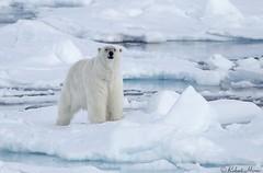 Polar Bear (Robert Horne Wildlife Photography) Tags: polarbear bear ursusmaritimus arctic arcticcircle svalbard spitsbergen ice snow frozen packice arcticpackice driftice marinemammal carnivore vulnerable mammal seaice arcticsea