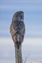 Great Grey Owl (Peter Stahl Photography) Tags: ggo greatgreyowl owl winter snow sunshine alberta canada