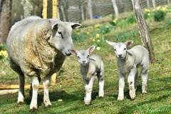 ~~ Naissance de Jumeaux ...~~ (Joélisa) Tags: agneaux bébés babies moutons jumeaux deux two mars2017 glay brebis maman fabuleuse