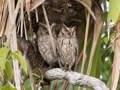 20170206 Costa Rica 20170206 Costa Rica 055A0365 (ianburgess1) Tags: alajuelaprovince birds canonegro costarica familystrigidae megascopscooperi pacificscreechowl
