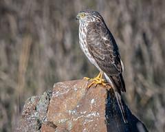 Sharp-Shinned Hawk (juvenile) (Becky Matsubara) Tags: sharpshinnedhawk hawk accipiter accipiterstriatus point isabel raptor birdofprey bird birds