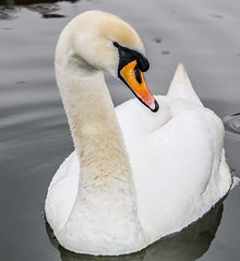 the swan (I was blind now I see!) Tags: white black yellow beak neck eye tail featherswater droplets
