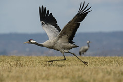Common crane 2017-04-01_05 [Explored 2017-04-03] (Jan Thomas Landgren) Tags: grusgrus tranor trana crane cranes commoncrane commoncranes tamron tamron150600mm wildlife wetland wetlands hornborgasjön hornborgalake västergötland sony sweden sverige sonyilca77m2 sonya77mark2 sonya77ii birds bird fåglar fågel fauna aves animal animals avifauna nature natur outdoor explore explored