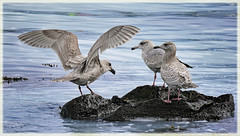 room for one more? (marneejill) Tags: seagulls juvenile young rock ocean pacific french creek bc