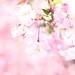 SAKURA, SAKURA and 桜