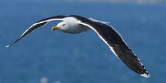 DSC_1714 Black backed gull