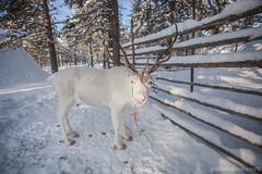 IMG_2742 (F@bione©) Tags: lapponia lapland marzo 2017 husky aurora boreale northenlight circolo polare artico rovagnemi finalndia finland
