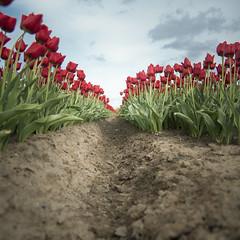 Zeeland #8833 (bluesdaniel) Tags: tulpen zeeland den bommel agricultuur landbouw aarde