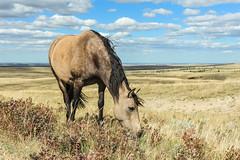 Days of Graze (DeVaughnSquire) Tags: horses horse pasture free grazing prairies alberta livestock animals farm farmanimals agriculture canada