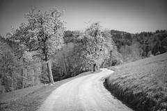 On the way to the top (oliko2) Tags: hike path trees leading rosskopf mountain freiburg landscape blackwhite bw monochrome nikond7100 sigma1750 f28 outdoors