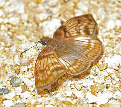 EC17--11973a (jerryoldenettel) Tags: 170302 2017 commonmylon copalingalodge ecuador hesperiidae mylon mylonmaimon pyrginae butterfly insect skipper
